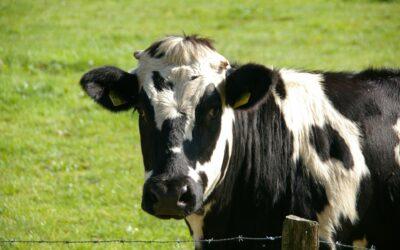 Leche de vaca, es merecida su «mala fama»?