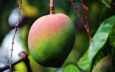 Aliño de mango