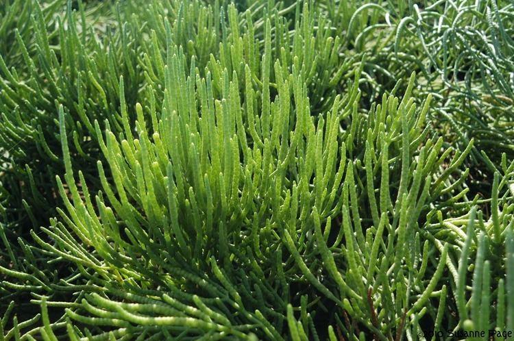 Salicornia, el espárrago de mar